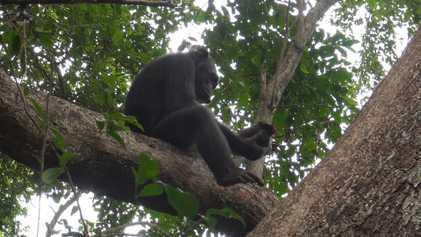 Graban por primera vez a chimpancés golpeando tortugas para comérselas