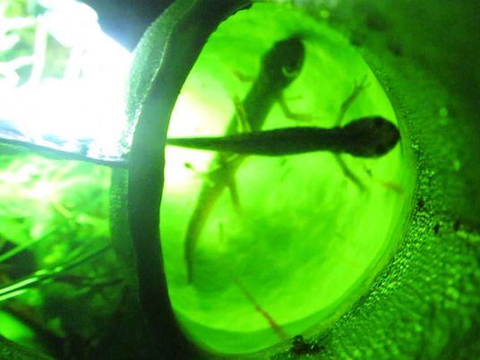 Observa cómo devoran salamandras estas plantas carnívoras