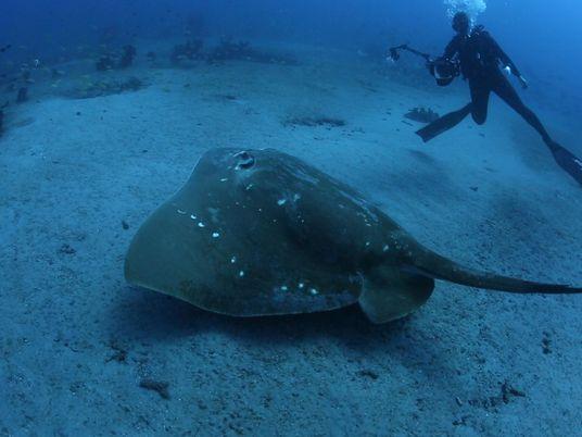 Llevan a cabo el primer estudio de la raya marina más grande documentada