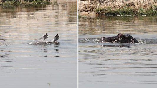 Este podría ser el primer vídeo de un hipopótamo llorando la muerte de su cría