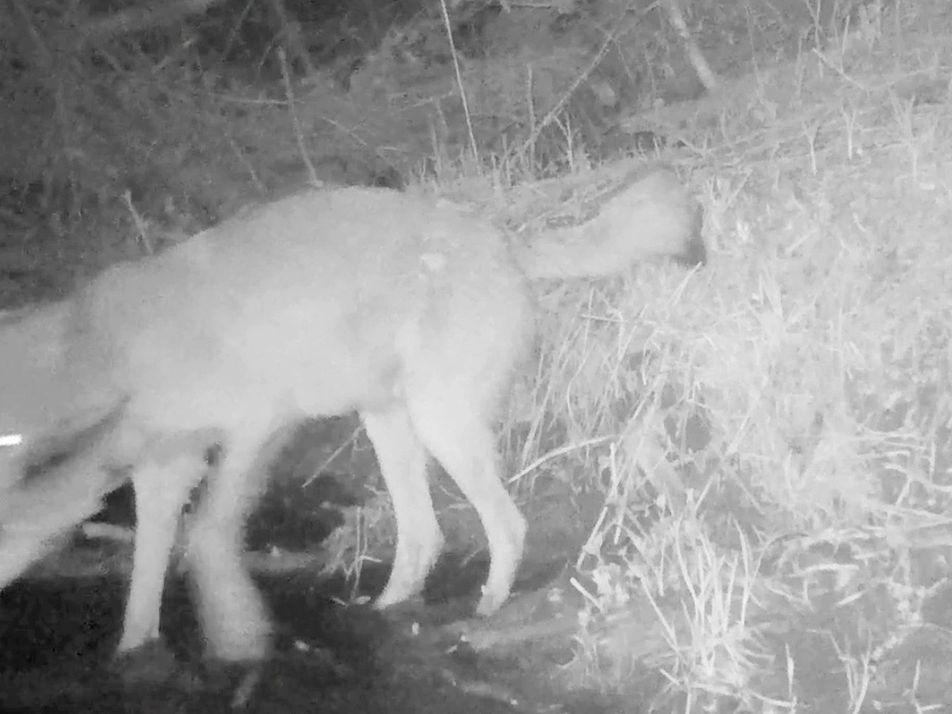 Graban por primera vez lobos que capturan y devoran peces