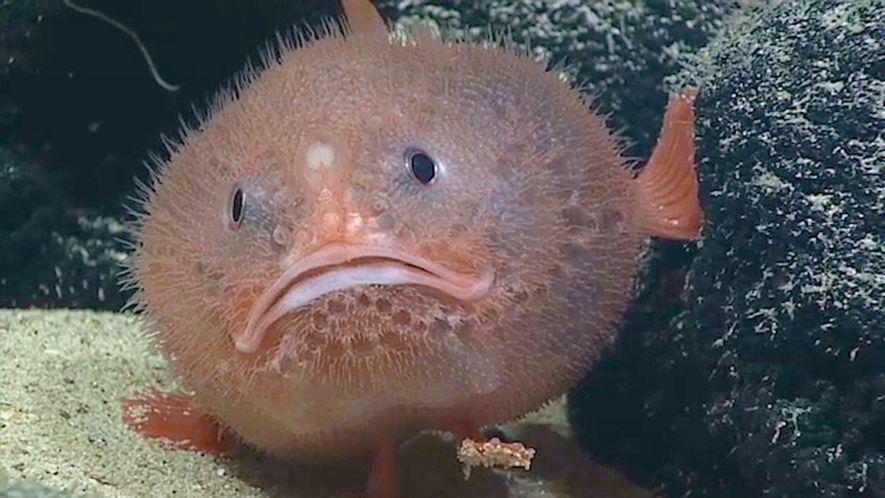 El extraño pez ataúd puede contener la respiración cuatro minutos