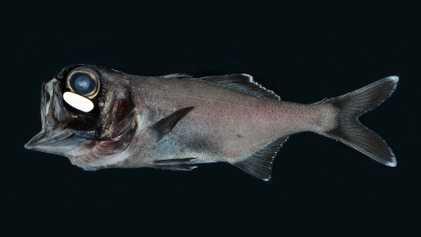 VÍDEO: El mayor banco de 'peces ojos de linterna' jamás filmado