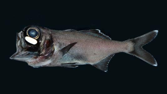 Estos peces utilizan bacterias para brillar en la oscuridad