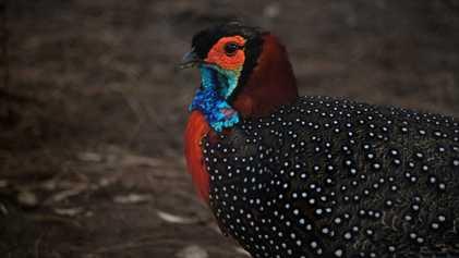 """VÍDEO: Cómo salvar al """"rey de las aves"""" (solo quedan 3.300 ejemplares en estado salvaje)"""