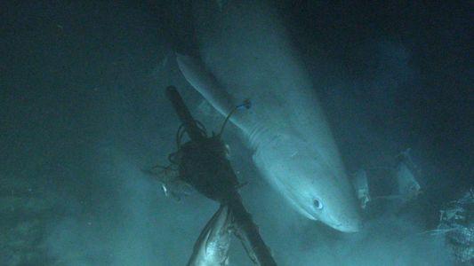 Etiquetan a un tiburón desde un submarino por primera vez en la historia