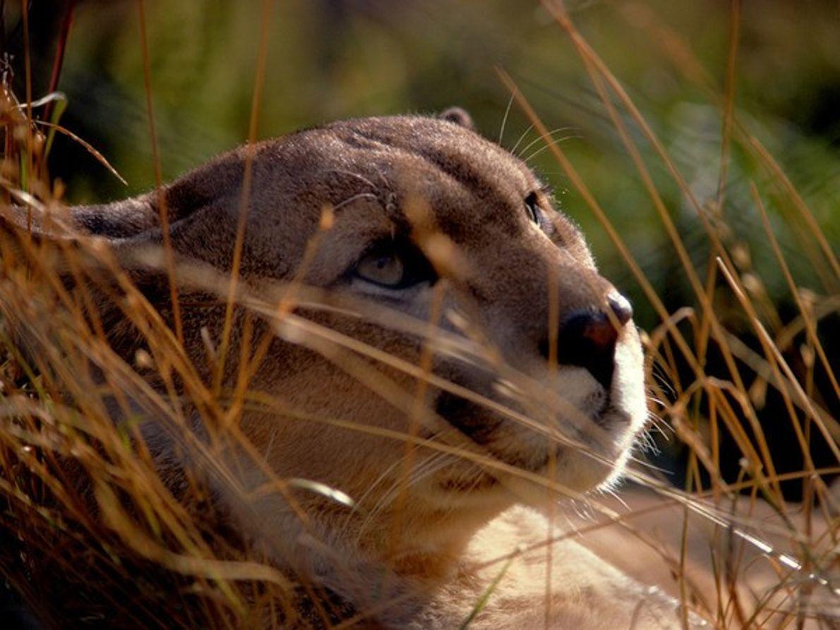 Puma de la Patagonia