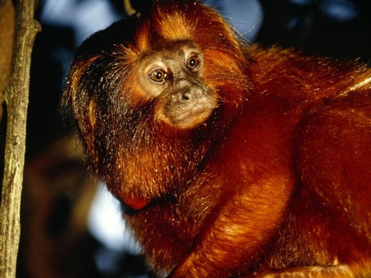 Mono Tití león dorado