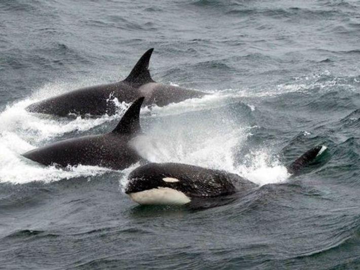 Orca en el Antártico