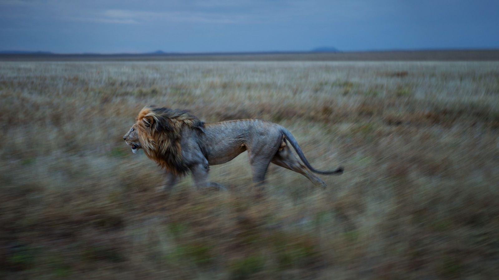 Fotografía de un león