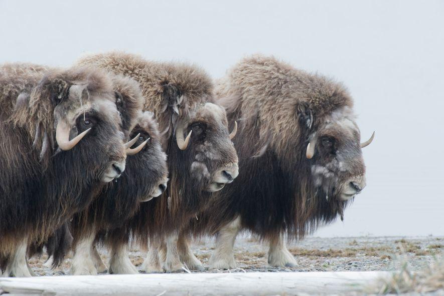 Bueyes almizcleros defienden a sus crías en el refugio nacional de fauna del Ártico.