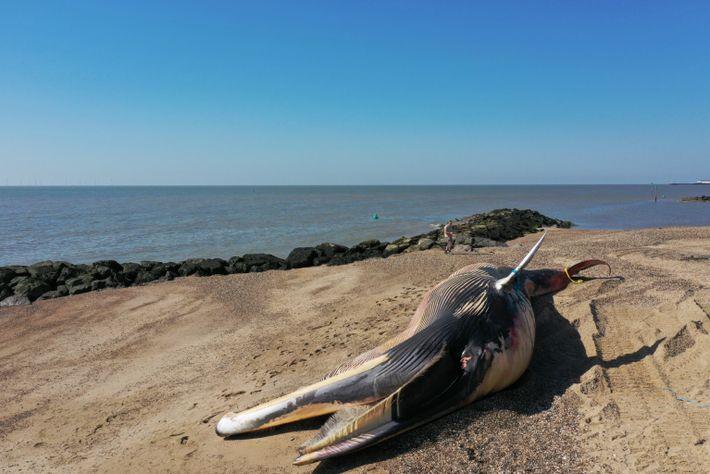 Rorcual común varado en la costa este de Inglaterra