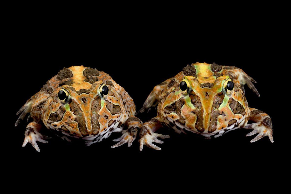 Ceratophrys stolzmanni