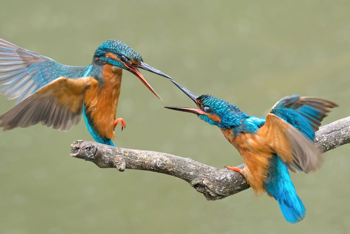 Two kingfishers joust over a meal.