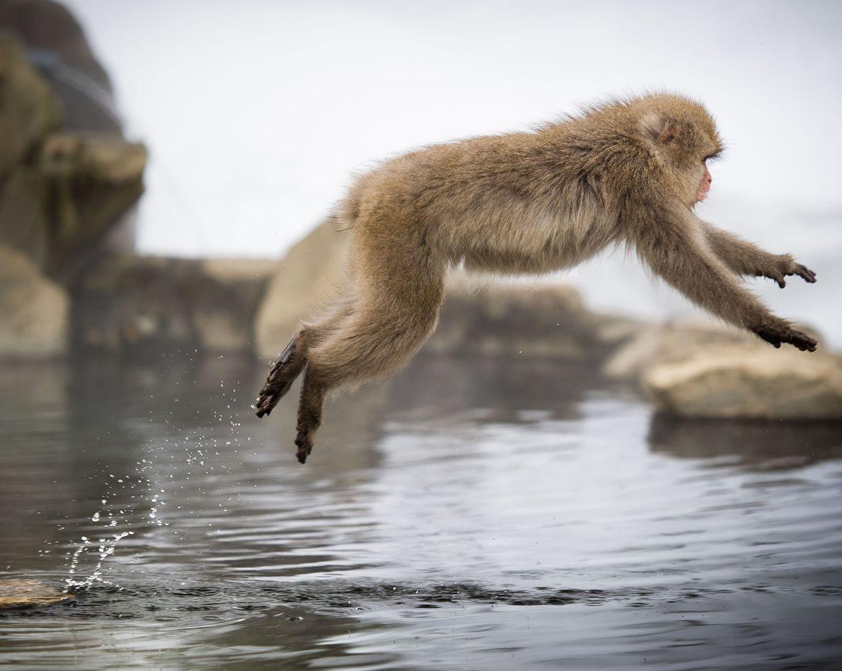 Un macaco japonés