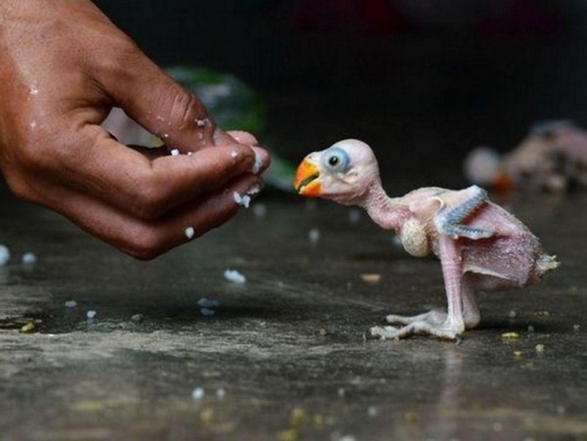 Una cría loro india es alimentada a mano en Dimapur, India, el 24 de julio. El pájaro …