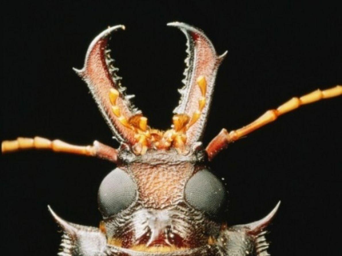 Escarabajo de cuernos largos