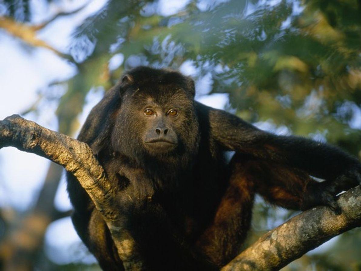 El mono aullador, conocido por la fuerza de sus gritos, es el mono más grande del …