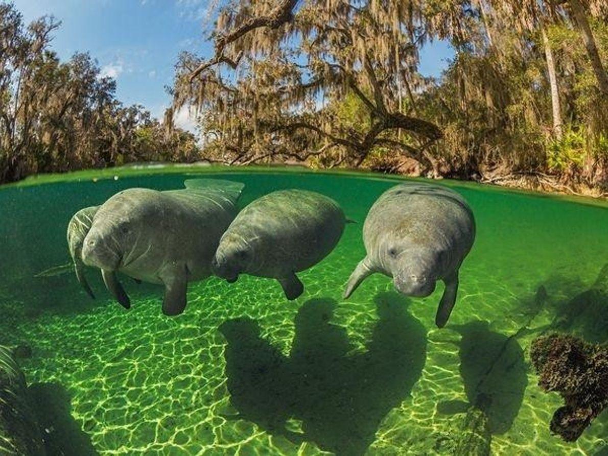 Los manatíes, Florida