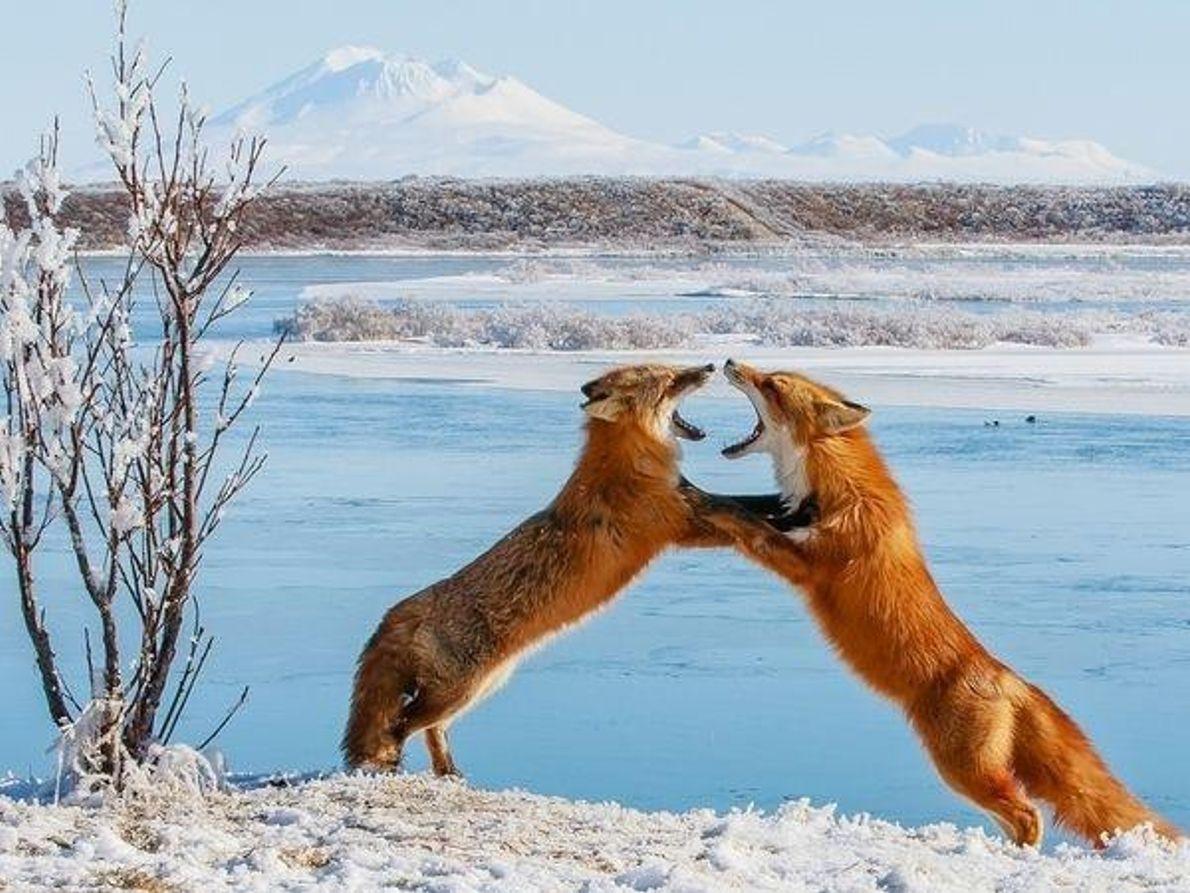 Zorros, Alaska