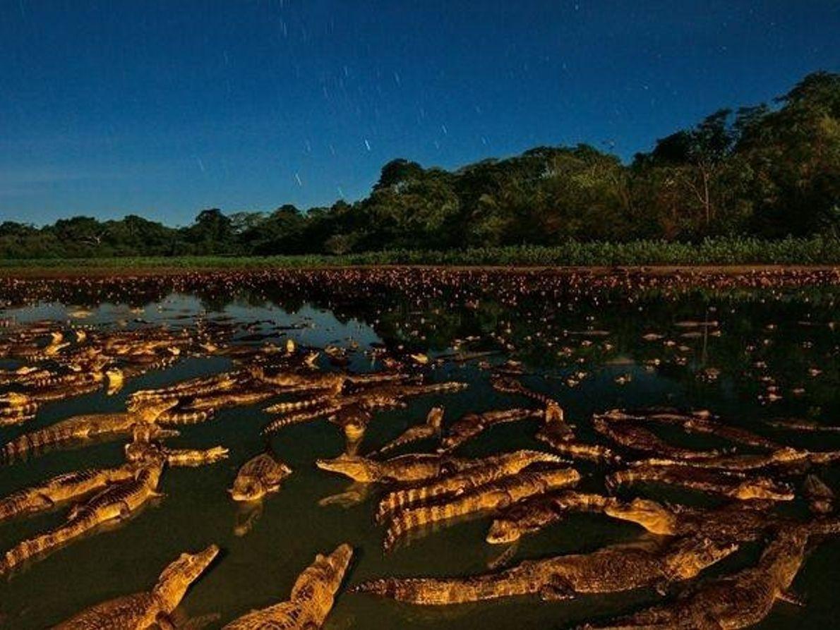 Caimanes en la noche, Brasil