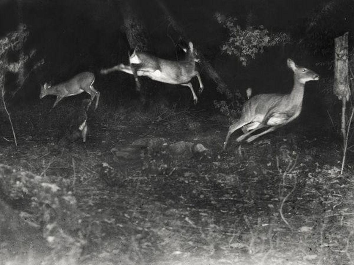 Ciervos en la noche
