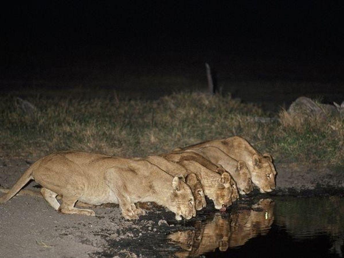 Leonas en la noche