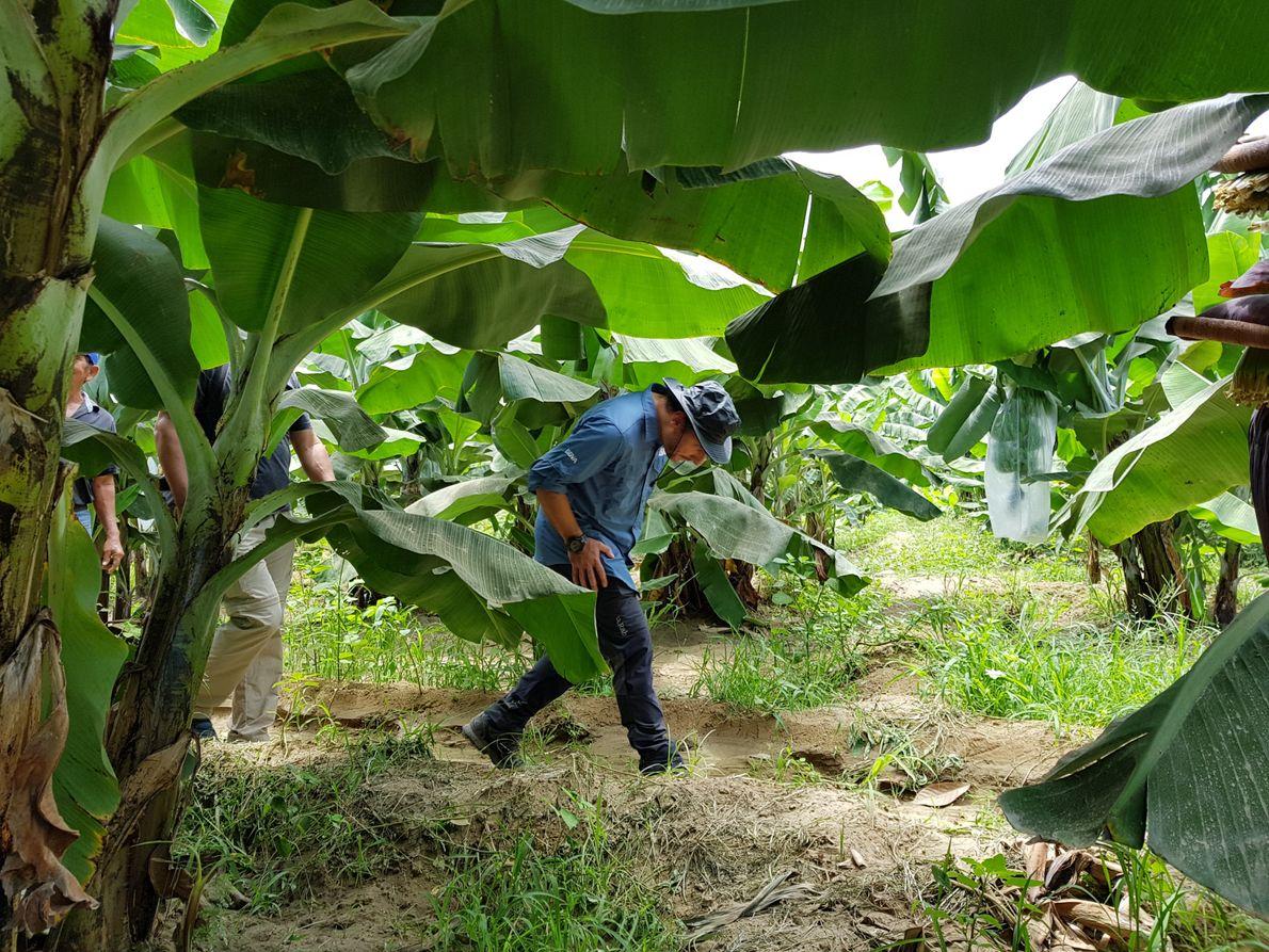 Atravesando una plantación de plátanos
