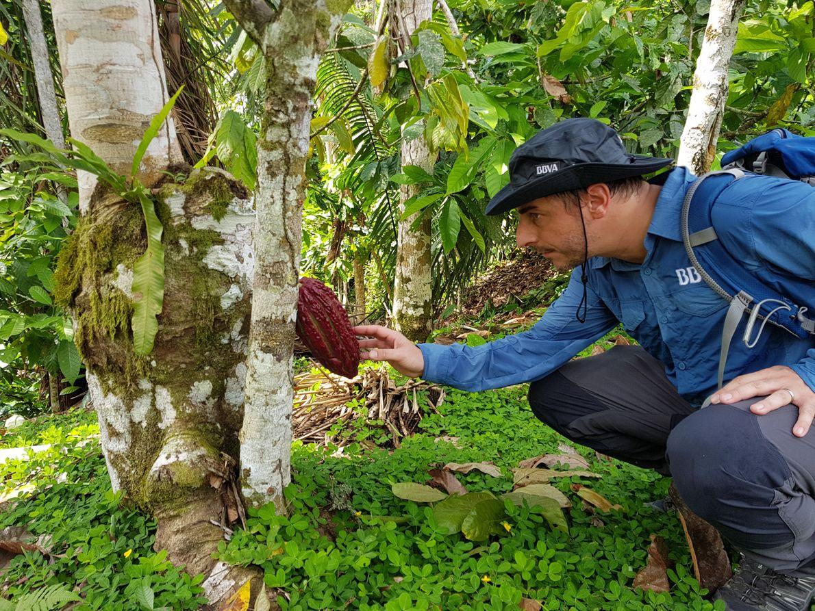Observando un fruto de cacao