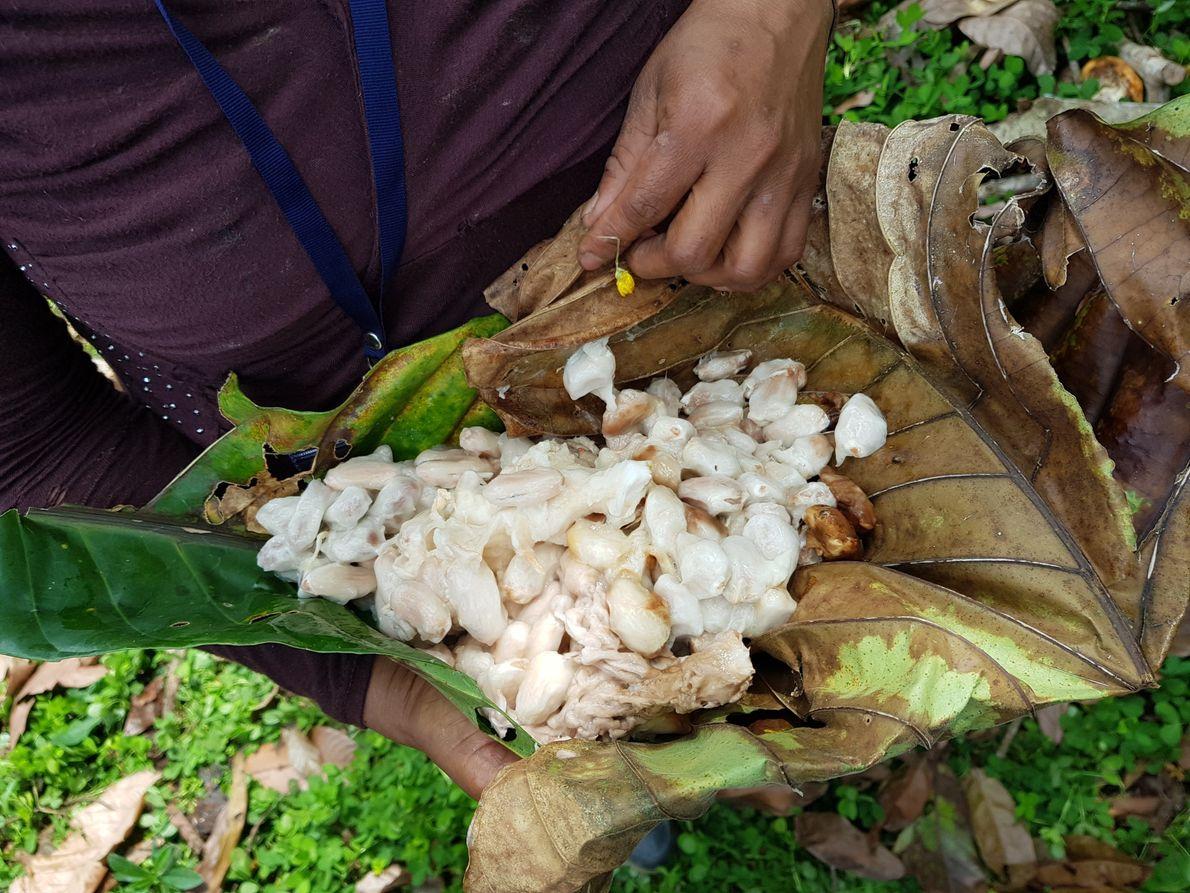 Granos de cacao recién sacados