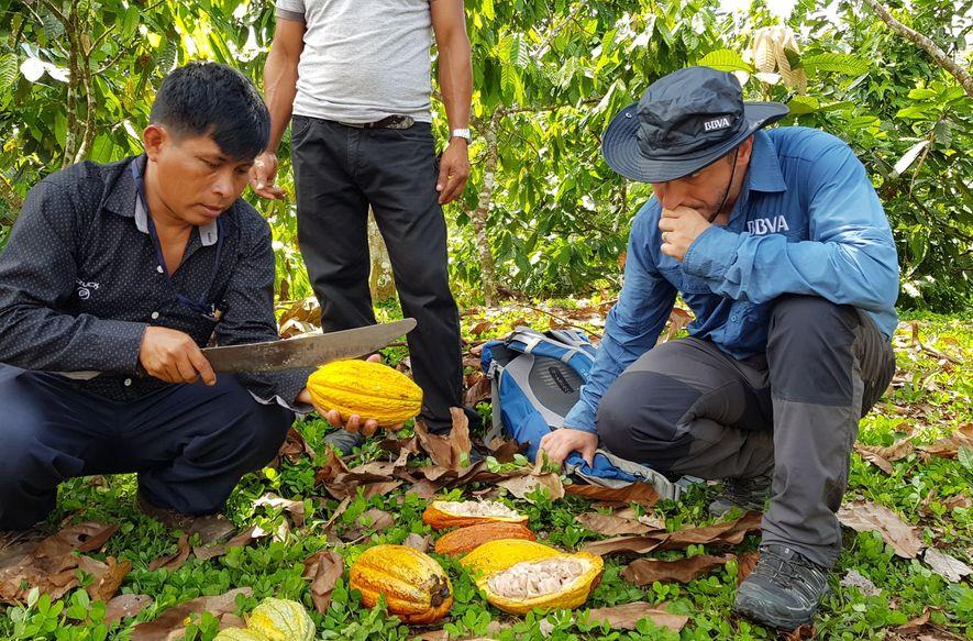 Degustando granos de cacao en distinto grado de maduración, recién cosechados y cortados por Haydo Wamputsar, ...