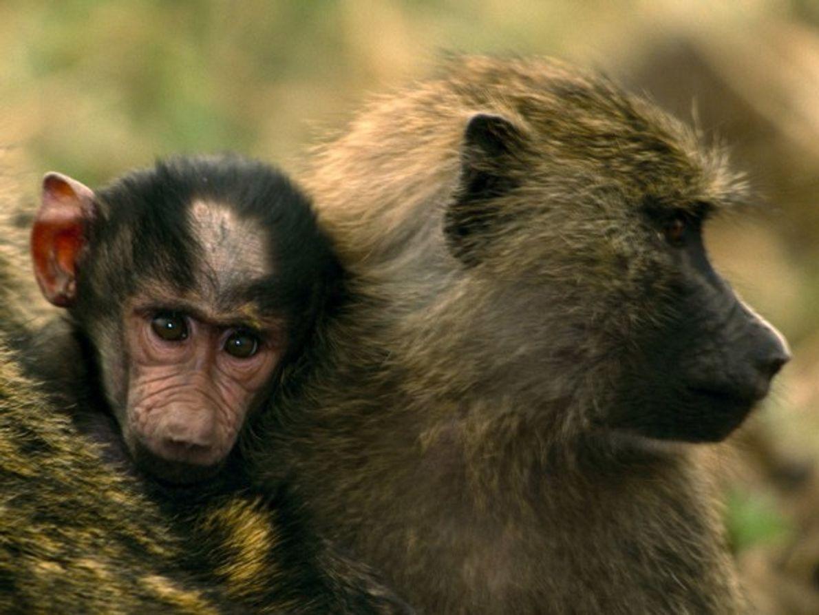 Esta madre y su bebé son babuinos verde oliva, una de las cinco especies de babuino. …