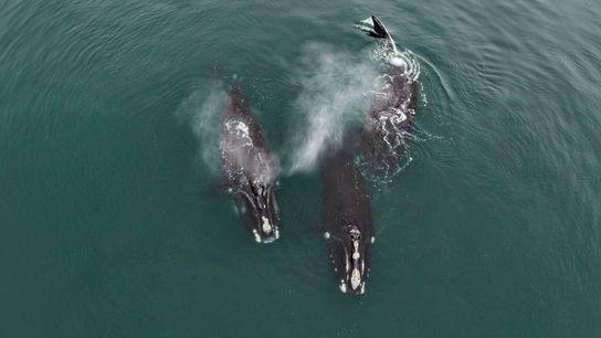 Fotografía de ballenas francas nadando