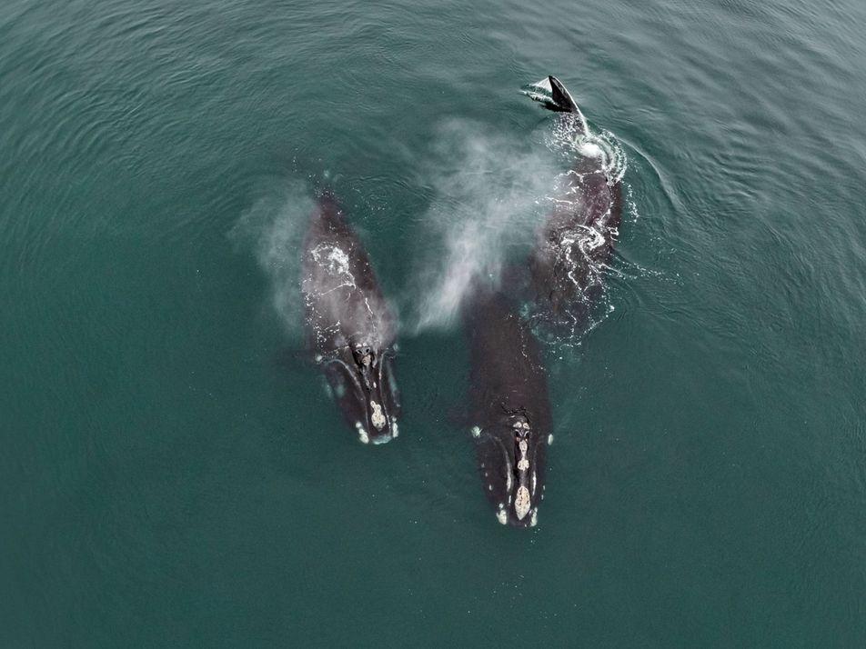 Raras imágenes muestran a ballenas en peligro de extinción «abrazándose»
