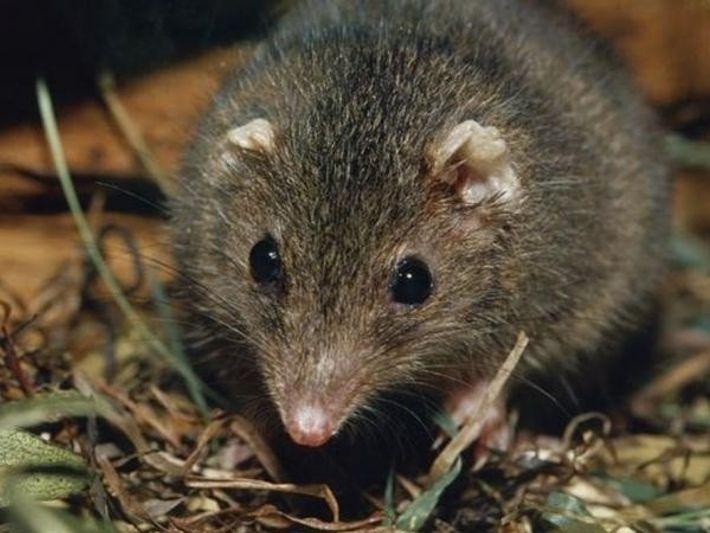 Marsupial Dusky Antechinus
