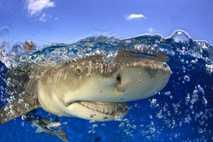 Los tiburones limón se hacen los muertos al darse la vuelta