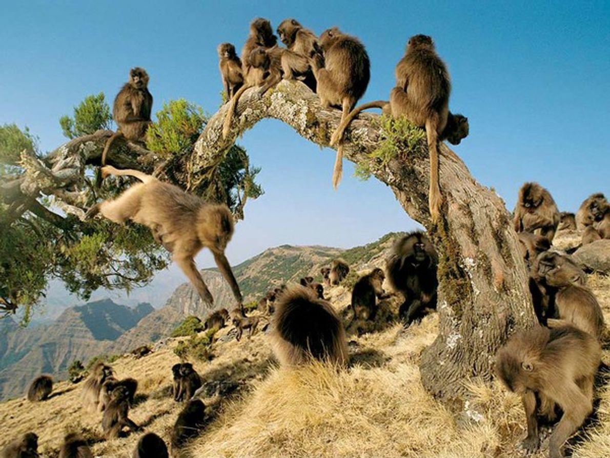 Los monos gelada de Etiopía, últimos supervivientes de los primates herbívoros, viven en sociedades matriarcales.