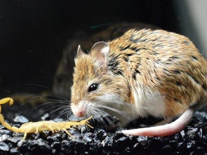 Ratones insensibles al veneno de escorpión
