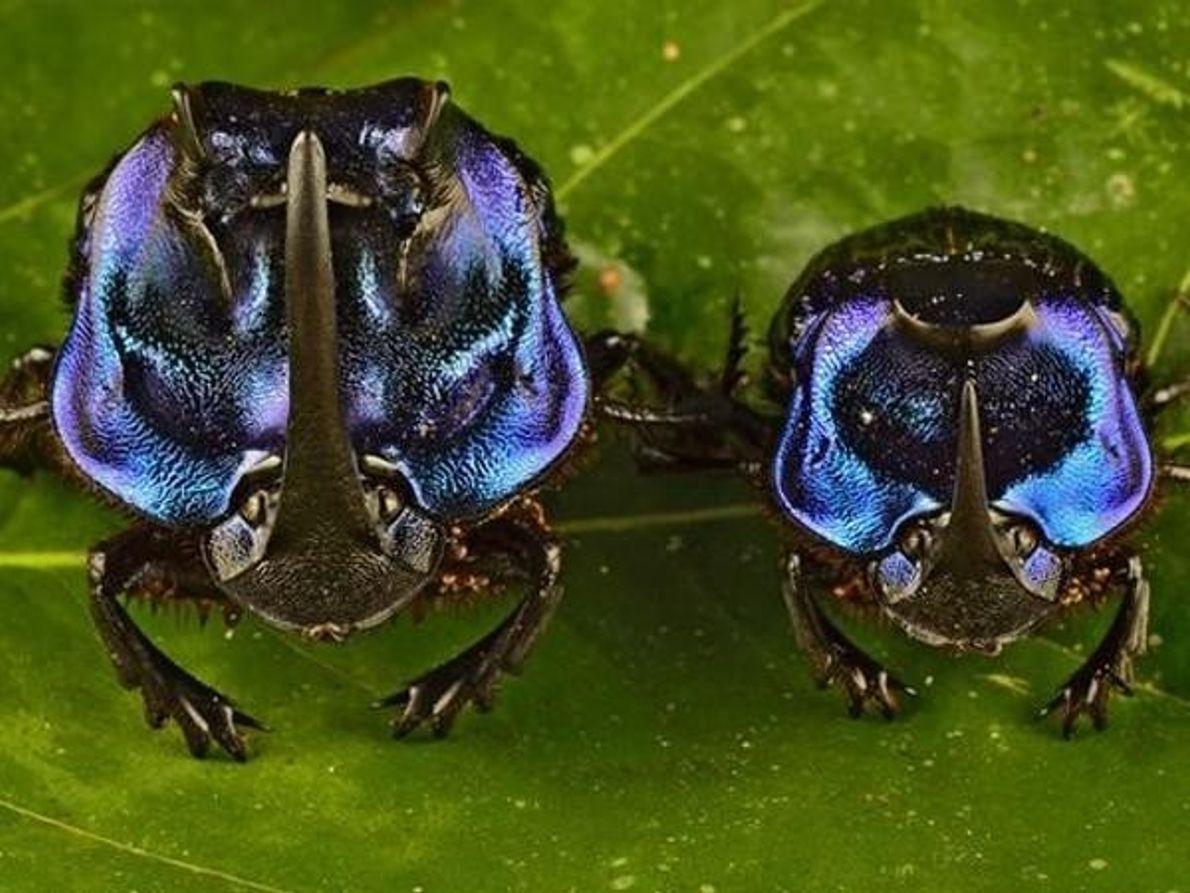 Escarabajos peloteros listos para la pelea