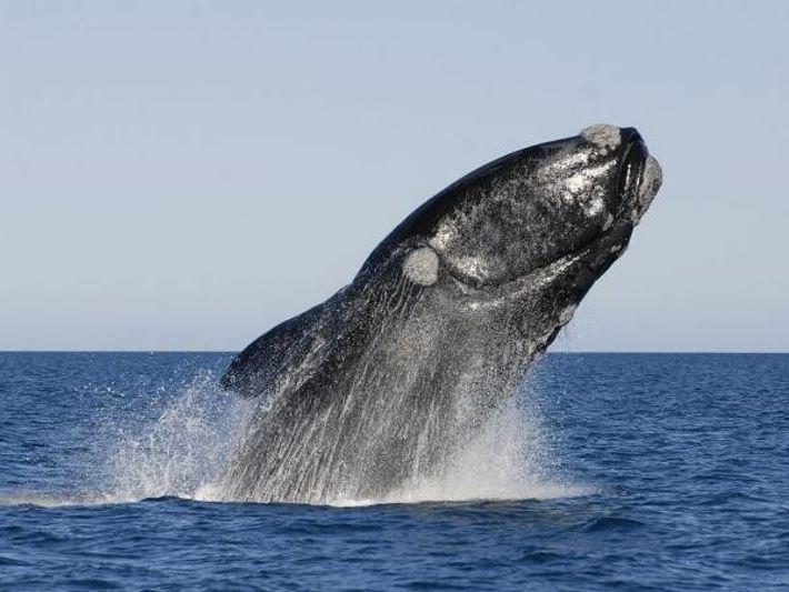 Una ballena franca austral en la Península Valdés (Argentina).