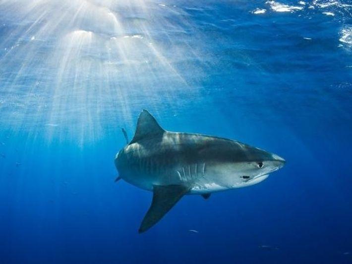 Tiburón tigre (Galeocerdo cuvier)