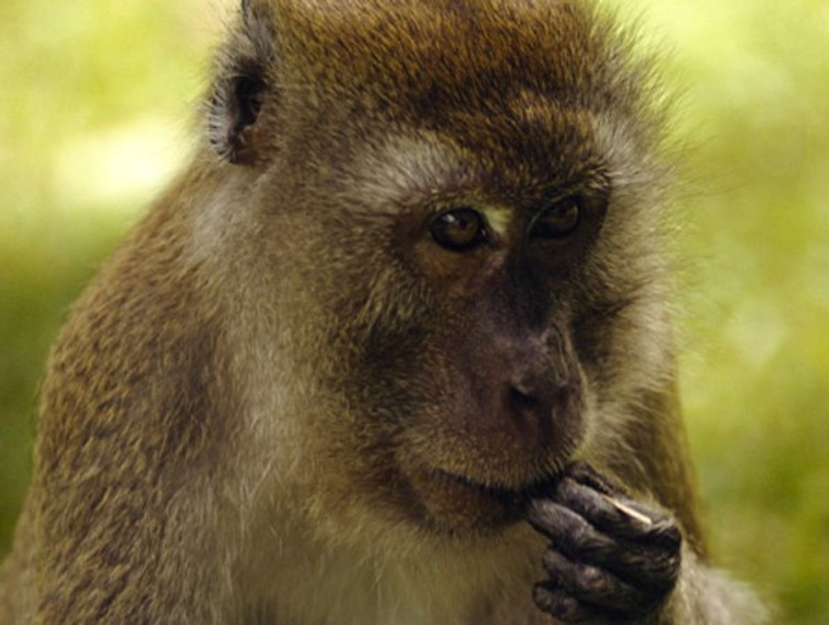 Aunque los macacos rhesus se alimentan principalmente de hojas y raíces, complementan su dieta con insectos …