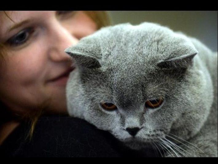 Un gato durante una exhibición de gatos en Moscú en 2013.
