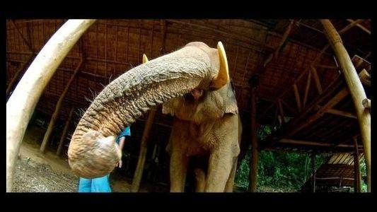 Los elefantes utilizan el olfato para encontrar alimento