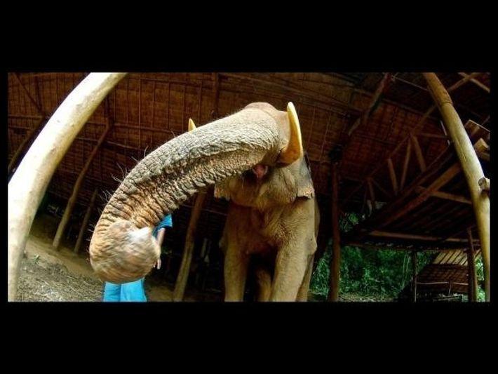 Los elefantes utilizan la trompa para tocar y oler nuevos objetos.