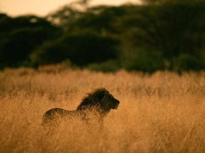 Los leones del sur y este de África, como el que vemos en la imagen, son ...