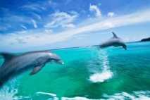 Delfines nariz de botella en el mar Caribe.