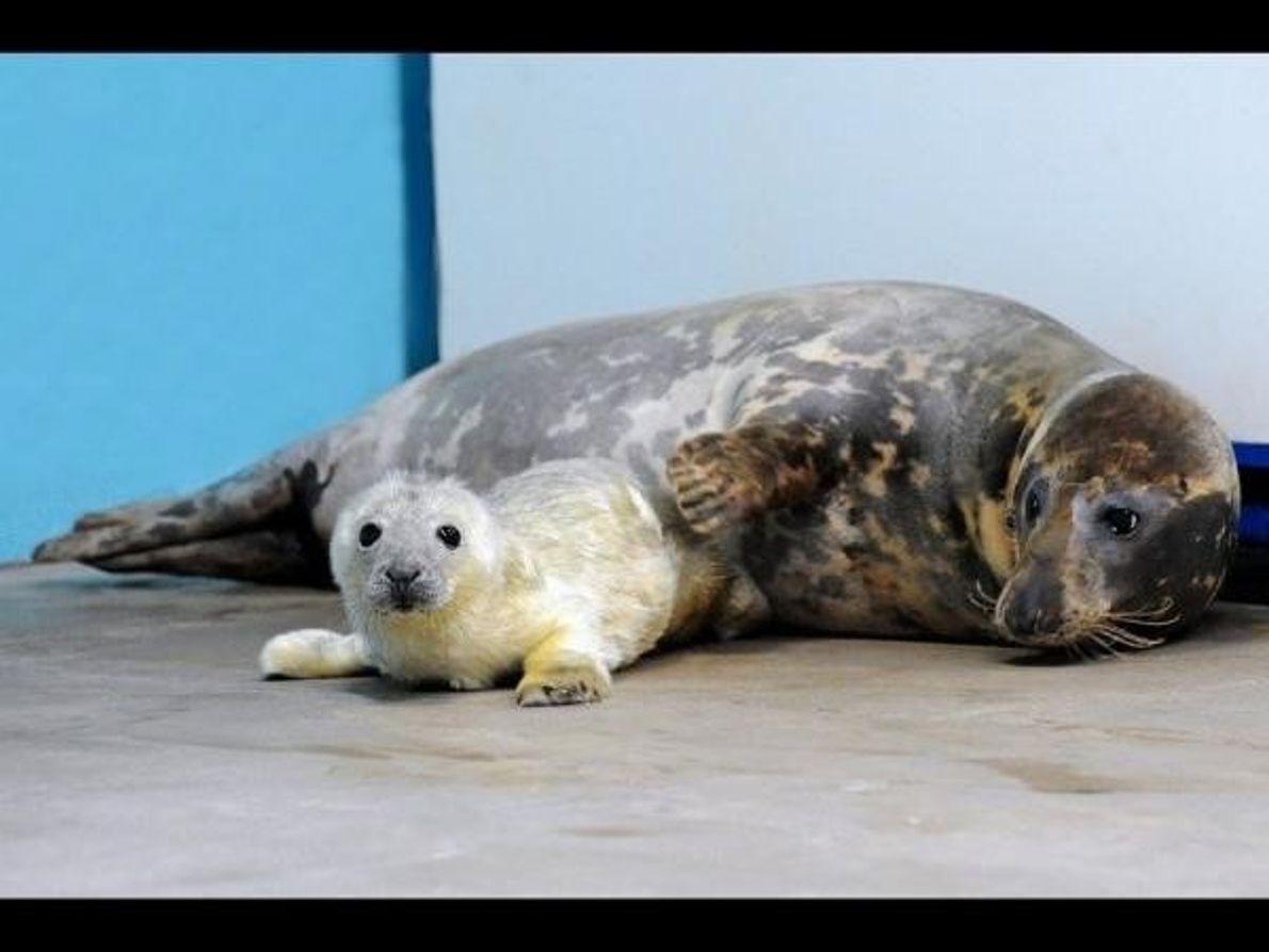 Este cachorro de foca gris está ganando una media de entre 1,3 y 2,3 kilogramos al ...