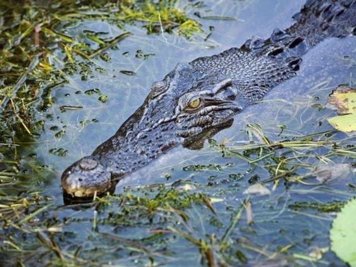 Un cocodrilo de agua salada en el Parque Nacional de Kakadu (Australia).