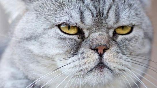 Los gatos domésticos, como éste, no nos entienden.
